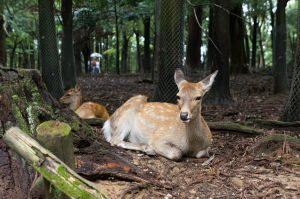 deer in nara japan that I expected to be nice